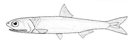 Image of Australian anchovy