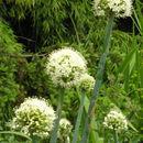 Image of <i>Allium pskemense</i> B. Fedtsch.