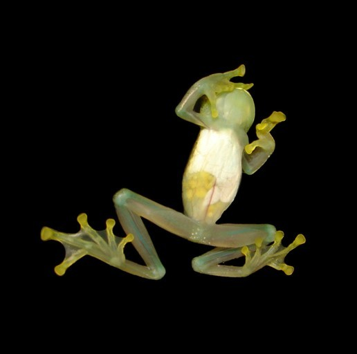 Image of Glass frog