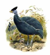 Image of Plumed Guineafowl