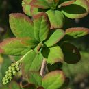 Image of Barberry