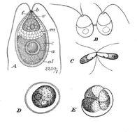 Image of <i>Dunaliella salina</i>