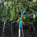 Image of <i>Cinnamomum oliveri</i> F. M. Bailey