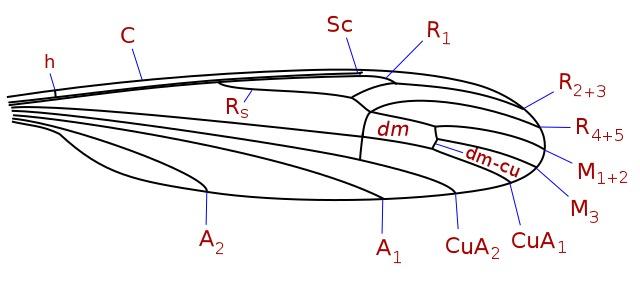 Image of Cylindrotominae