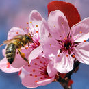 Image of Cherry Plum