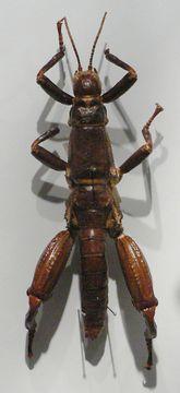 Image of Land Lobster