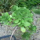 Image of <i>Aeonium ciliatum</i> (Willd.) Webb & Berth.
