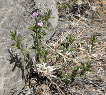 Image of Drummond's false pennyroyal