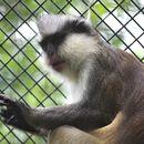Image of Crested Mona Monkey