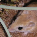 Image of Hairy-footed Gerbil