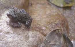 Image of Eastern Ghost Frog
