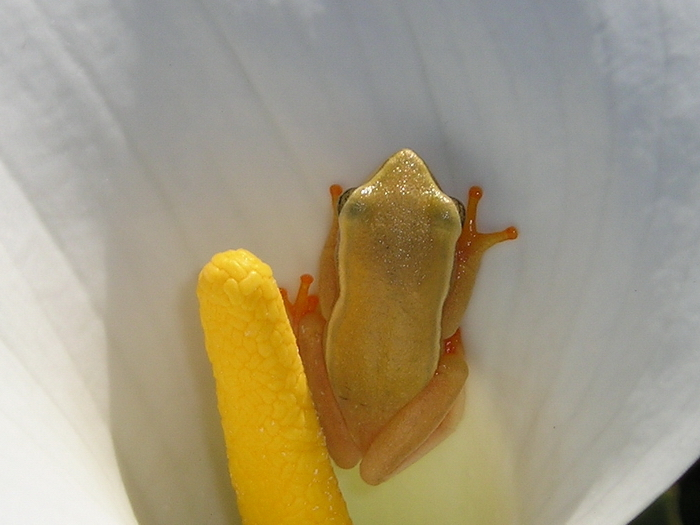 Image of Arum lily frog