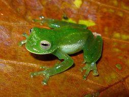 Image of Antioquia Giant Glass Frog