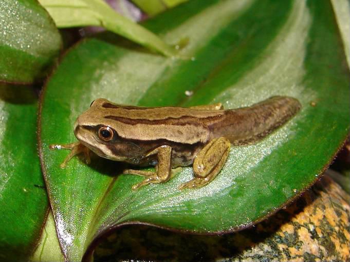 Image of Dunn's Marsupial Frog