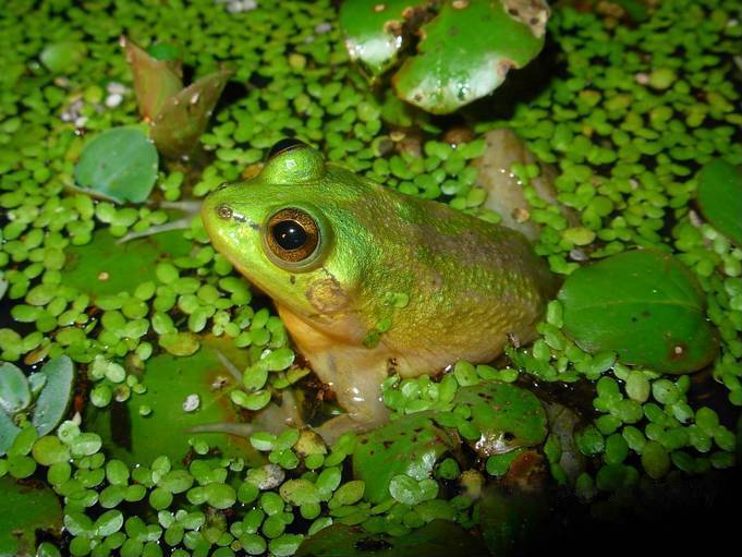 Image of Paradoxical Frog