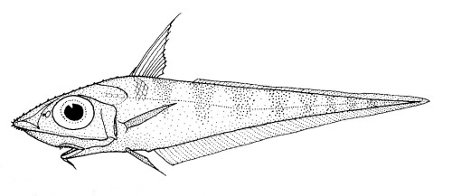 Image of <i>Caelorinchus bollonsi</i>