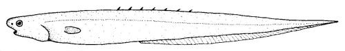 Image of Notacanthus sexspinis