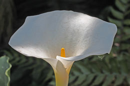 Image of spotted calla lily