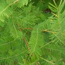 Image of <i>Mimosa verrucosa</i> Benth.