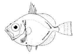 Image of Capro dory