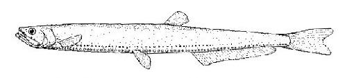Image of Rebains' portholefish