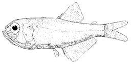 Image of <i>Margrethia obtusirostra</i>