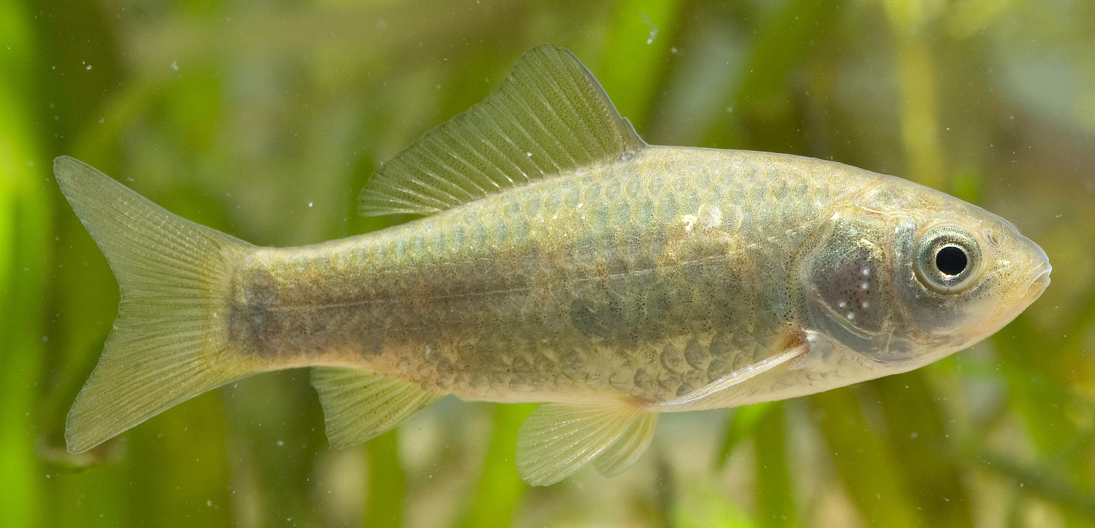 Image of <i>Carassius auratus buergeri</i>