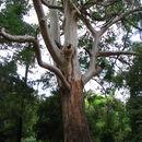 Image of Saligna Eucalyptus