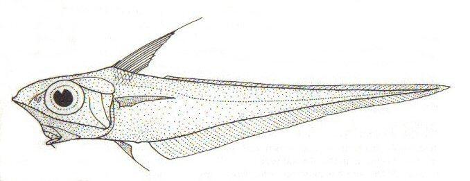 Image of <i>Caelorinchus oliverianus</i>
