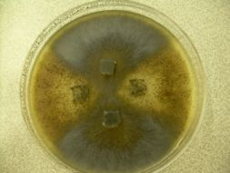 Image of <i>Sordaria fimicola</i> (Roberge ex Desm.) Ces. & De Not. 1863