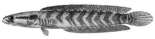 Image of <i>Parachanna africana</i> (Steindachner 1879)