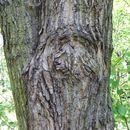 Image of Wilson's Poplar