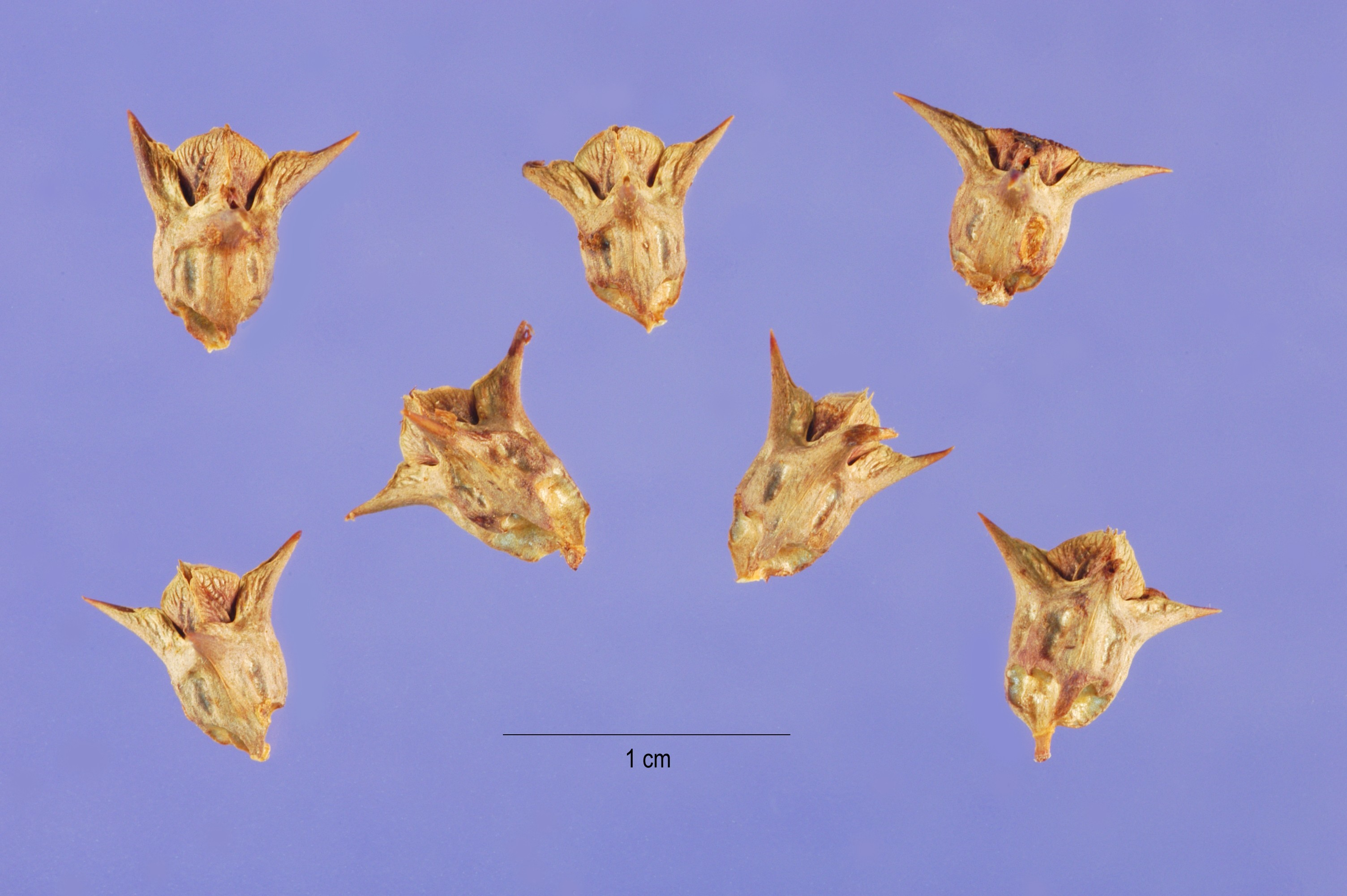 Image of southern threecornerjack