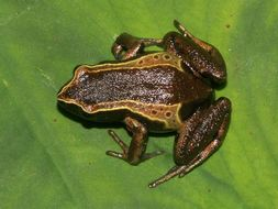 Image of Mount Okou Long-fingered Frog
