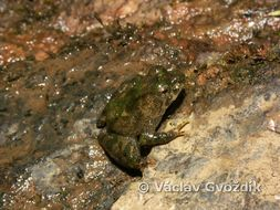 Image of Nkongsamba River Frog
