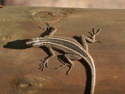 Image of Broadley's Flat Lizard