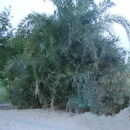 Image of wild date palm
