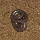 Image of Delalande's Beaked Blind Snake