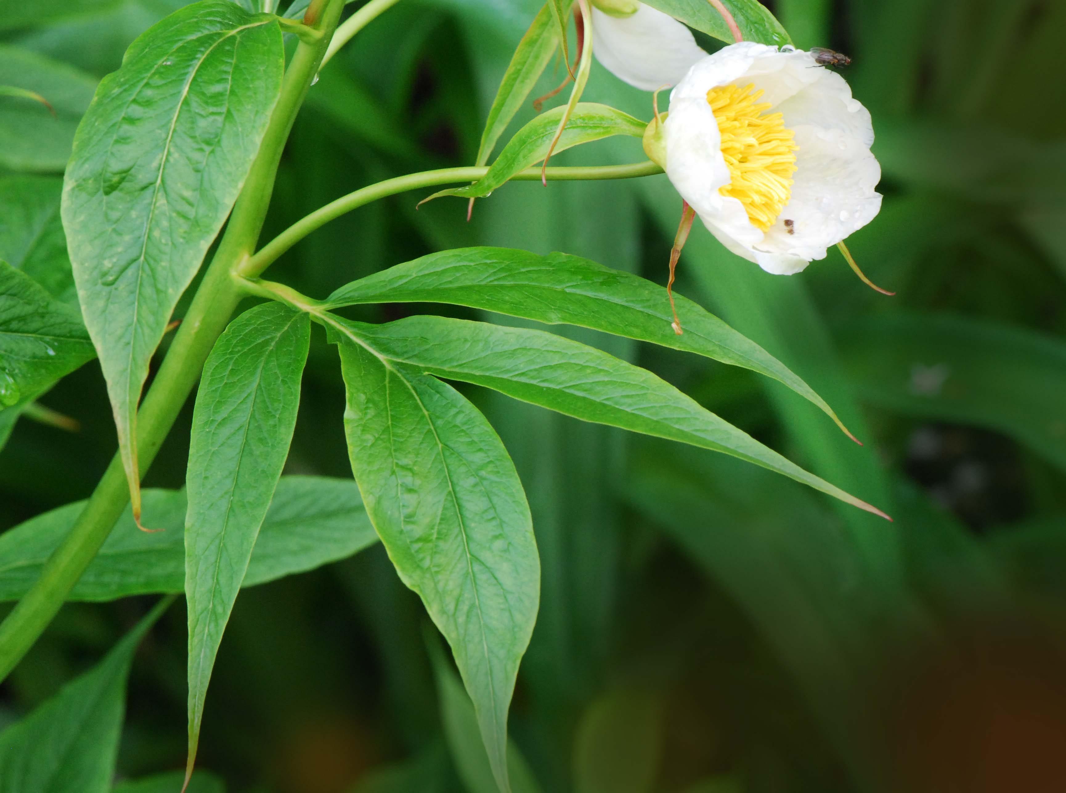 Image of <i>Paeonia emodi</i> Wall.