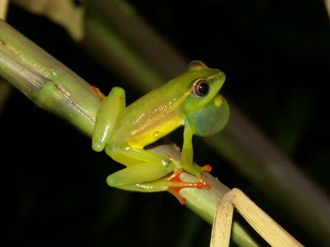 Image of Riggenbach's Reed Frog
