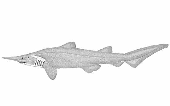 Image of Elfin Shark