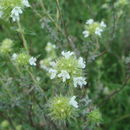 صورة <i>Thymus mastichina</i> (L.) L.