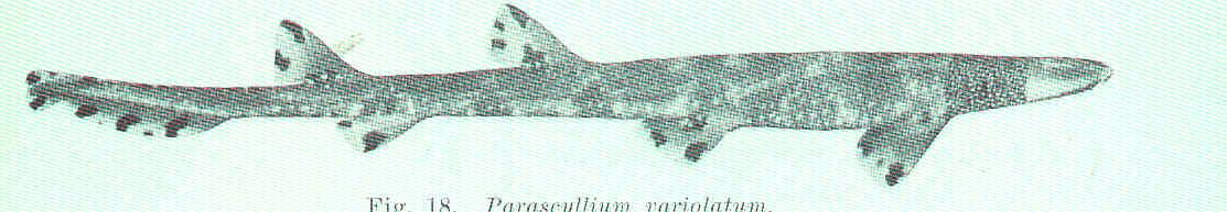 Image of Necklace Carpetshark