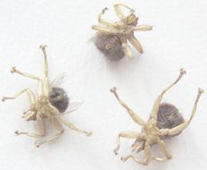 Image of <i>Crataerina pallida</i> (Latreille 1811)