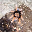 Image of Mexican Fireleg Tarantula
