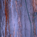 Image of Chinese Mahogany