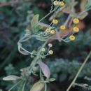 Image of Alecost or Balsam Herb