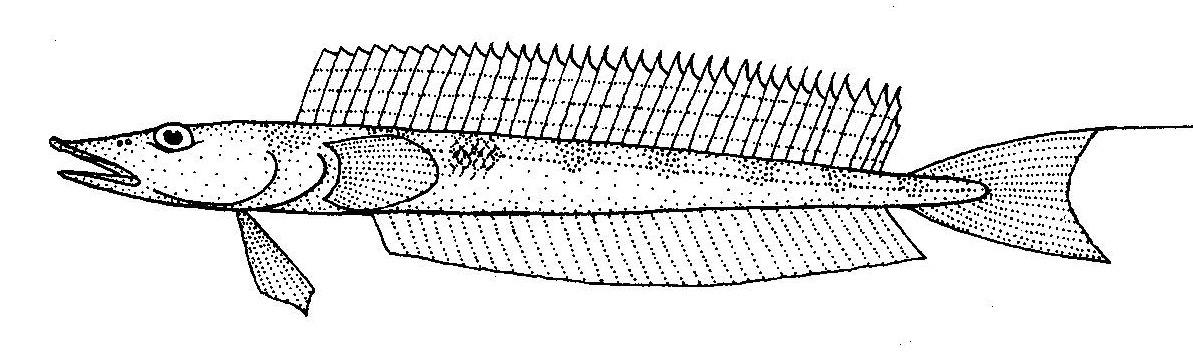 Image of <i>Hemerocoetes monopterygius</i> (Schneider 1801)