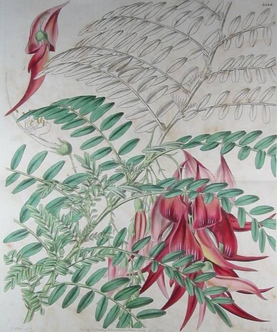 Image of Kaka-beak