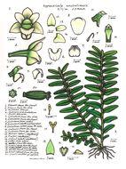 Image of <i>Podochilus australiensis</i> (F. M. Bailey) Schltr.